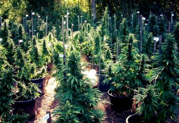 Growing Cannabis Outdoors