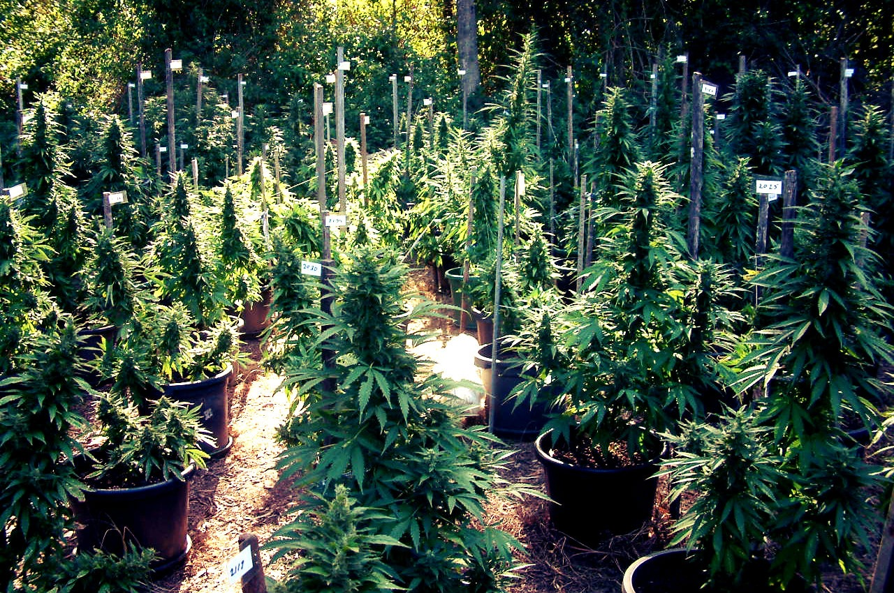 Important Tips for Growing Cannabis Outdoors